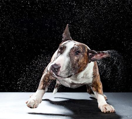"""""""Shake Series"""" Bull Terrier 1 (l) Bull Terrier 2"""