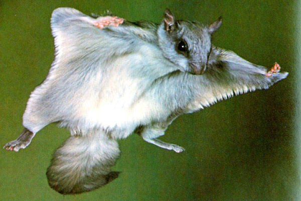 NORTHERN-FLYING-SQUIRREL-3