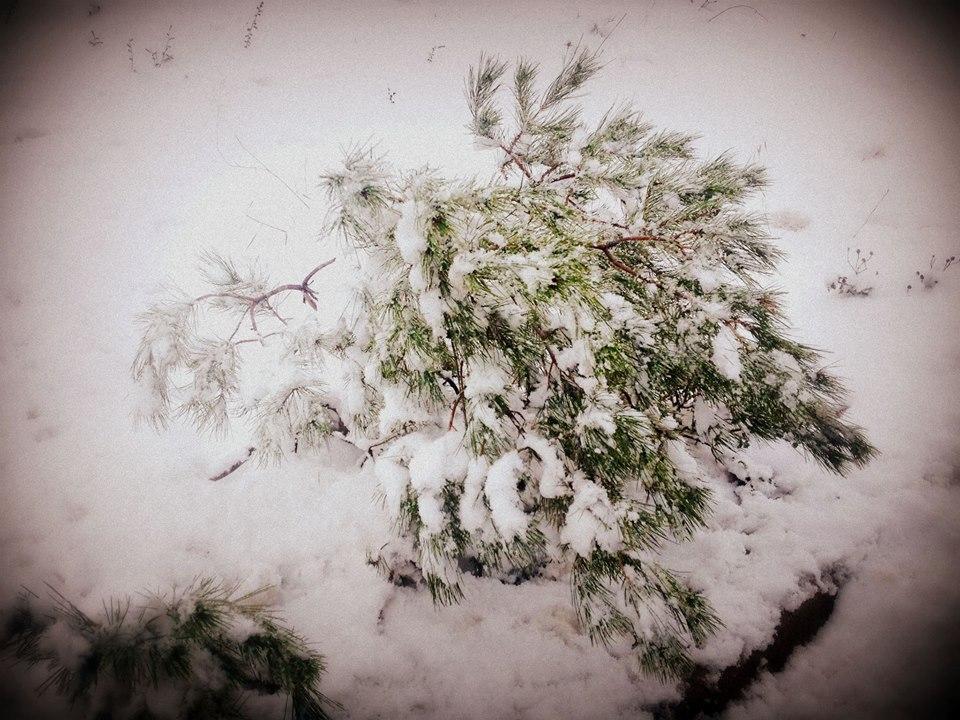 Καλυμμένο από το χιόνι το μικρό δέντρο στη Βαρυμπόμπη.